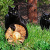Ken Hubbards cats via David Aaron Moore. Black American Shorthairs are so cute!