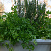 My own big and beautiful Italian flat leaf parsley. -- Erica