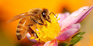 A honeybee collects nectar from a flower. (njmcc/istockphoto.com)