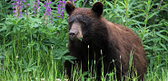 A bear hunts for food in a yard. Photo by mazwebs/sxc.hu.
