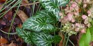 Arum, Carex and Hydrangea in November. Photo by Erica Glasener.