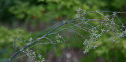 Fennel that has flowered and set seed (bolted).  Photo by Erica Glasener.