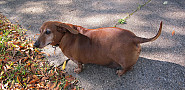 This fat Dachsund is so cute, but might have a thyroid problem. (jennalex/Flickr)