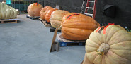 Giant pumpkins at the National Heirloom Expo. --Jordan