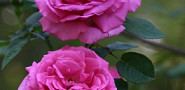 Bt makes these roses bloom. (Roses and photo by Erica Glasener.)