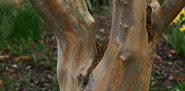Stewartia pseudocamelia bark in March. Photo by Erica Glasener.