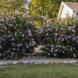 Low maintenance flowering shrub choices articles for Low maintenance flowering bushes