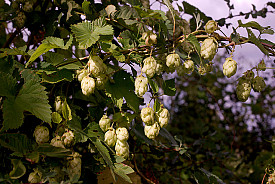 Hop on Pop! Hops are big in gardening this year.   Photo: Andy Rogers/Flickr