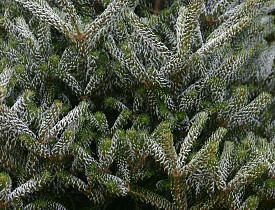 Abies koreana. Photo by Erica Glasener.