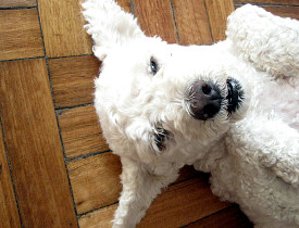 An extremely cute poodle takes a break from exercise to relax on a hardwood floor. (Photo: alvimann/Morguefile.com)