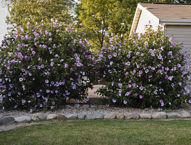 Low maintenance flowering shrub choices networx for Low growing flowering shrubs