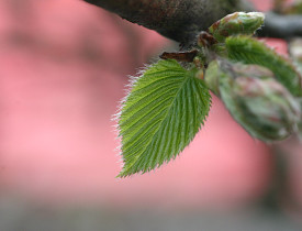 A hornbeam leaf.  Photo: ArminH/stock.xchng