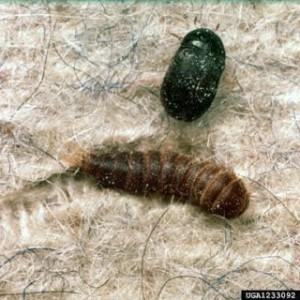 Carpet Beetles Networx