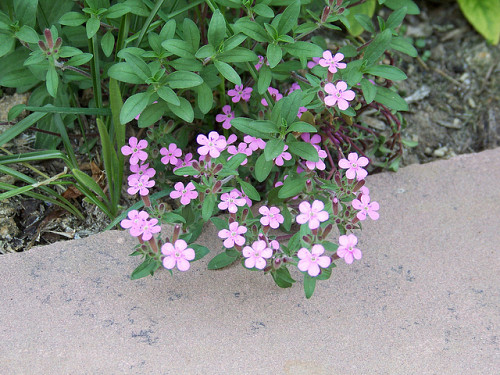 Photo of Rock Soapwort by patrick_standish/flickr.