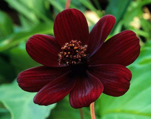 Photo of chocolate cosmos by pemberlolly/Flickr Creative Commons.