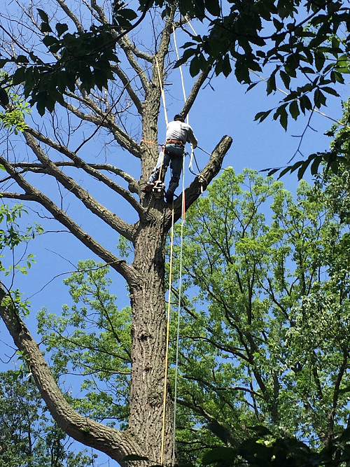 Huge oak tree removal