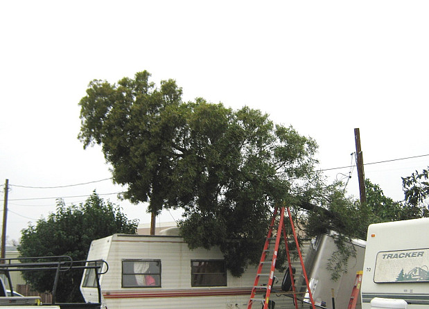 Tree tangled in power lines