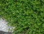 Creeping thyme in my garden. --Erica
