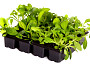 Photo of seedlings in a plastic tray by doram/istockphoto.com.