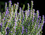 Hyssop grows in a private garden. (Photo: Holger Casselmann/Wikimedia Commons.)