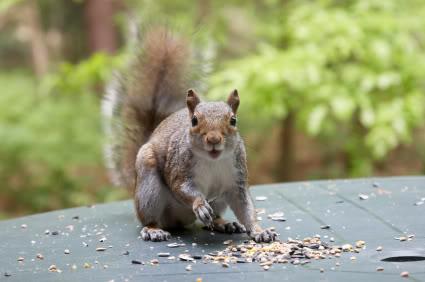 how to get rid of squirrels in garden