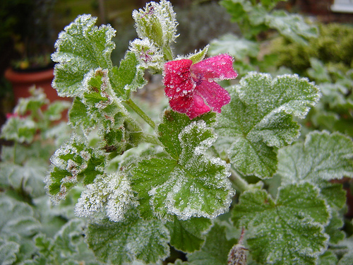 Saving Frost Bitten Plants Networx