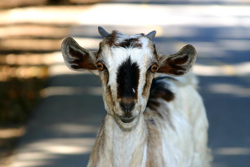 Raising Goats In The City Networx