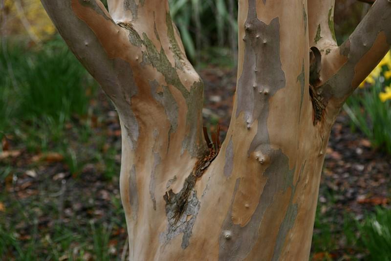 18 Trees With Beautiful Bark Networx
